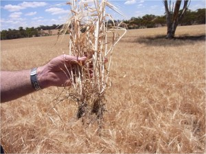 Wheat under dry condition